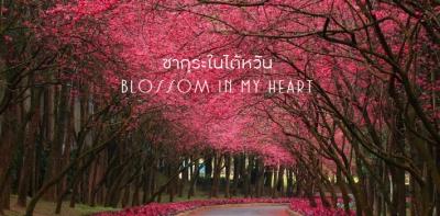 ซากุระในไต้หวัน Blossom in My Heart